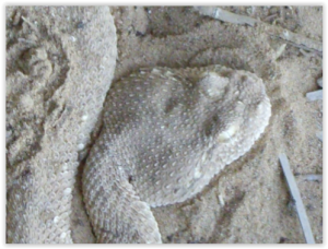 Snake Oman